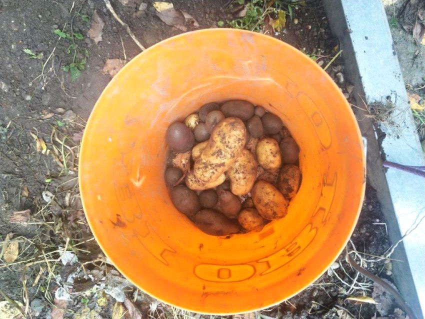 Kartoffelernte 3 Klasse